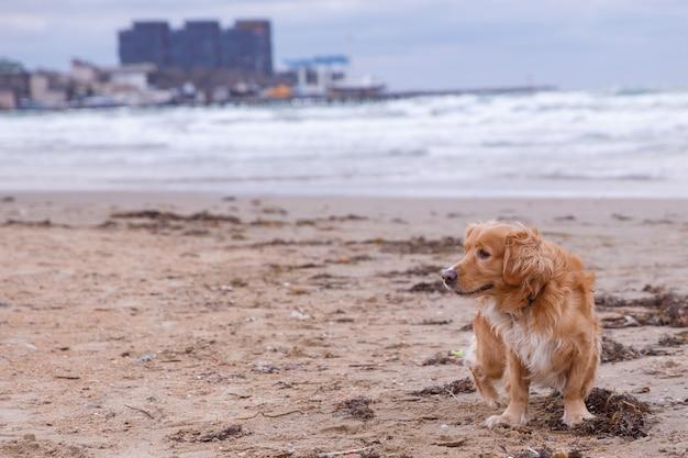 Рыжий пес кокер-спаниель бегает, играя на пляже