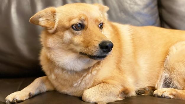 Рыжий пес лежит на диване. портрет собаки