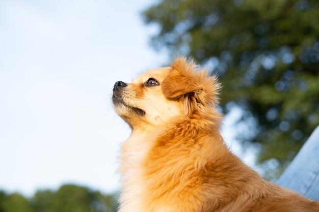 赤い犬は自然を背景に遠くを見ています。