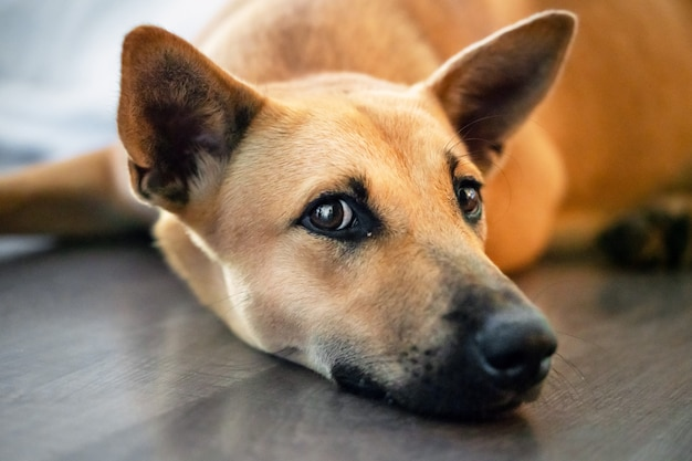 Red dog mongrel lying on the floor and looking at you, head portrait close-up
