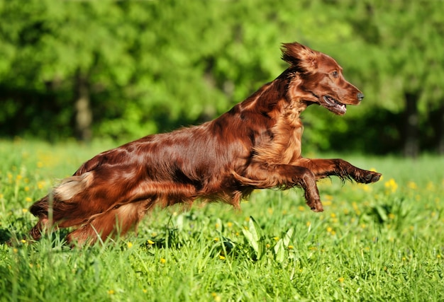 배경 녹색 잔디에 대해 실행하는 빨간 개. 얕은 dof, 개에 초점. 패닝으로 촬영.