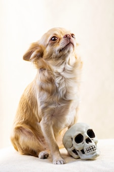 The red dog sits with his head up near a small human skull.