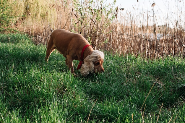 Red dog sniffing grass