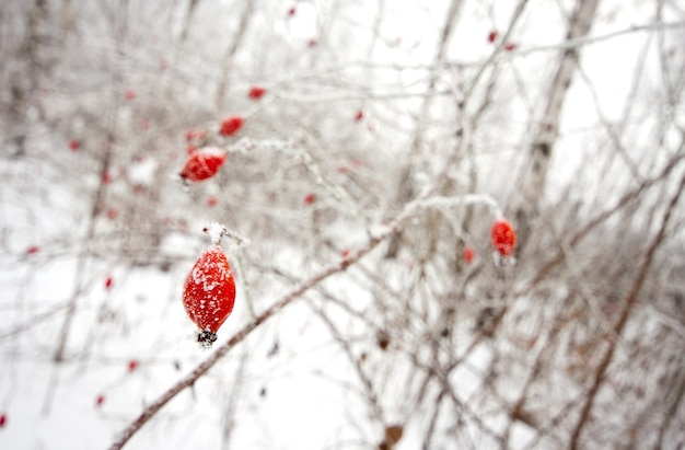 Красные ягоды шиповника