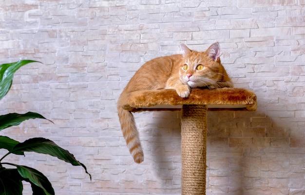 獲物を狩る準備ができている赤い飼い猫。生姜猫が探して攻撃の準備をしています。