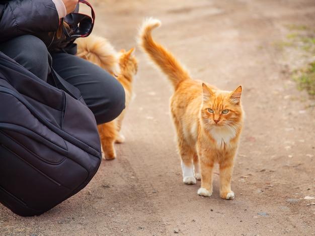 Рыжий домашний кот гуляет по дороге осень рано утром