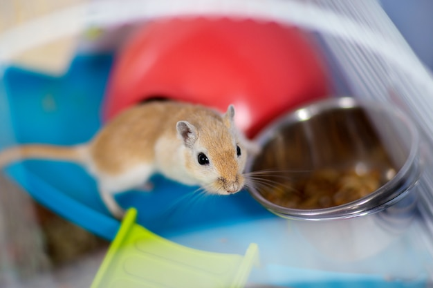 The red domestic mouse gerbil sits in the cage near a feeding trough with food