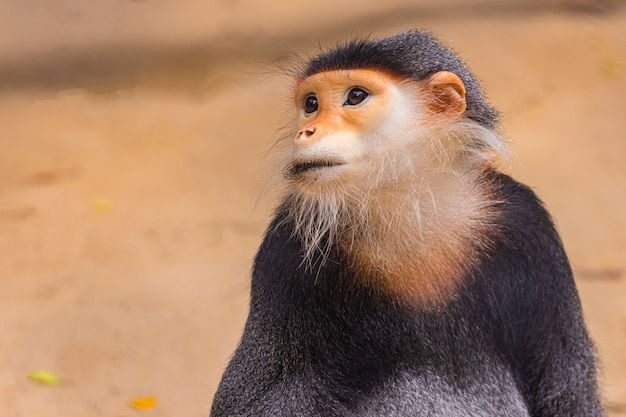 Red douc langur/ pygathrix nemaeus/ some kind of monkey