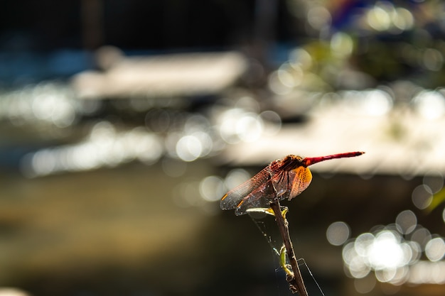 Red dragonfly on a branch in the stream.