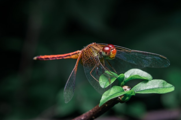 Red dragonfly on the branch