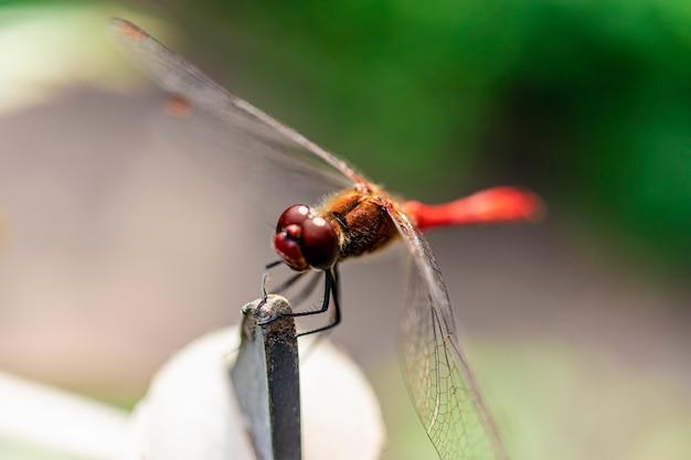 흐린 배경에 빨간 잠자리 클로즈업입니다. 선택적 초점입니다. 매크로 촬영. 아름다운 곤충입니다.