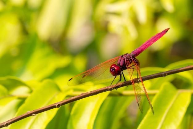 Красная стрекоза крупным планом дикой природы