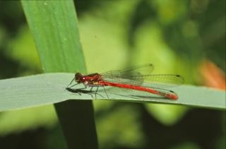 Red dragonfly, firefly