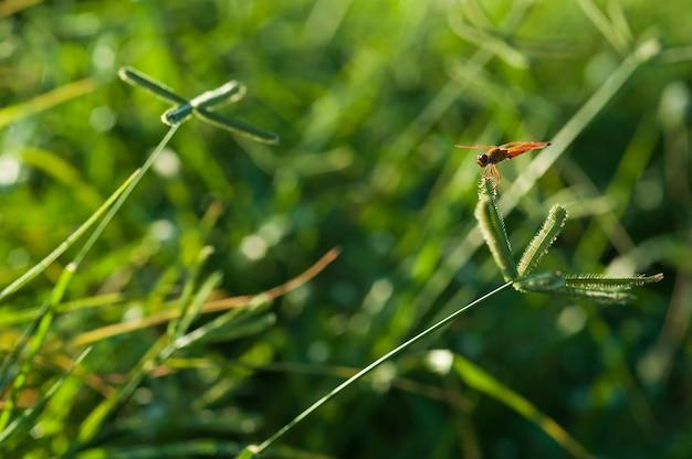 Красная стрекоза в траве поля