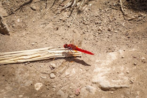 Красная стрекоза в санто антао, кабо-верде