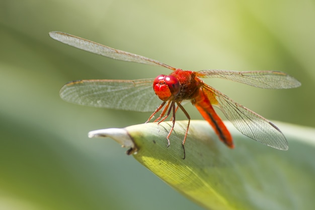 Red dragonfly on leaf close up