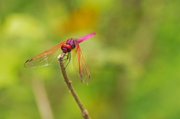 緑色の背景と枝に赤いトンボ。