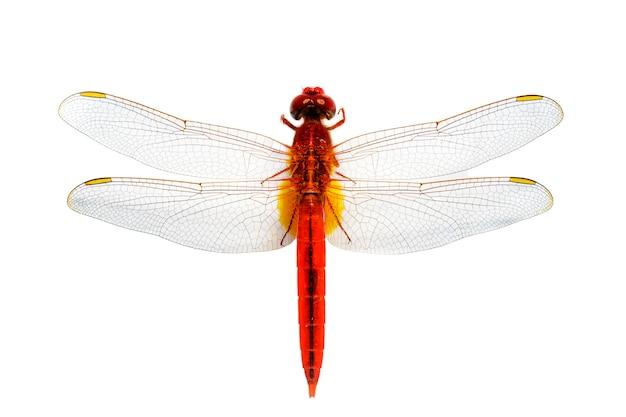 Красная стрекоза на белом фоне