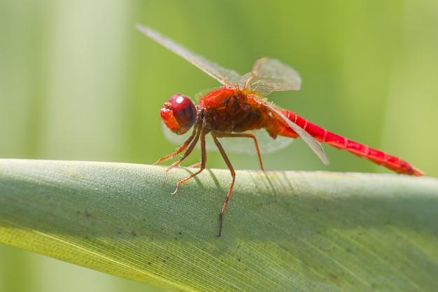 Красная стрекоза на листе крупным планом