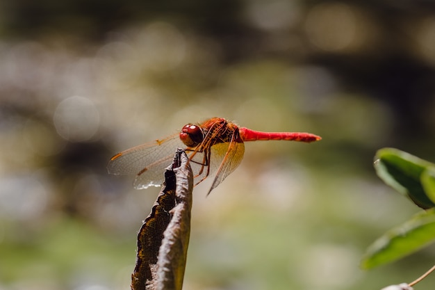 Red dragonfly perching on dried leaf