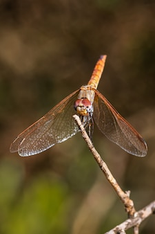 自然環境で撮影された赤いトンボ