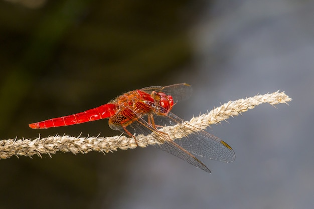 Red dragonfly on plant closeup