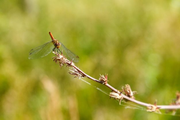 Red dragonfly resting sitting on a branch