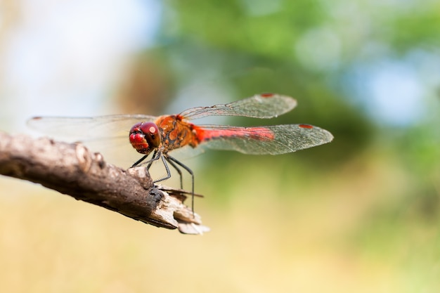 Red dragonfly sitting on branch. macro photography with shallow depth of field