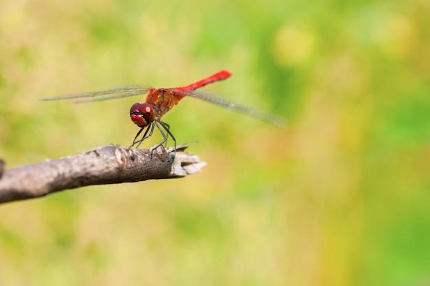 Красная стрекоза сидит на ветке. макросъемка с малой глубиной резкости