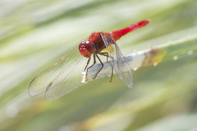 Красная стрекоза сидит на листе крупным планом