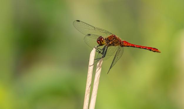 乾燥した植生の上に座っている赤いトンボ、野生の昆虫動物マクロ