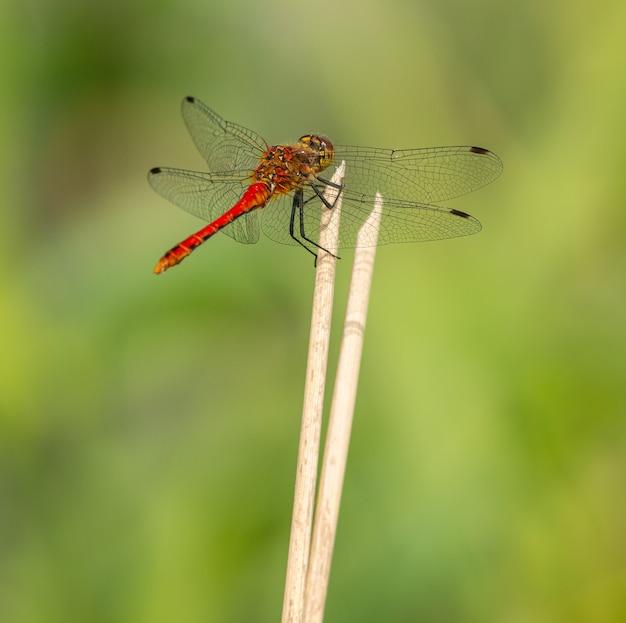 Красная стрекоза сидит на вершине сухой растительности, макрос диких насекомых