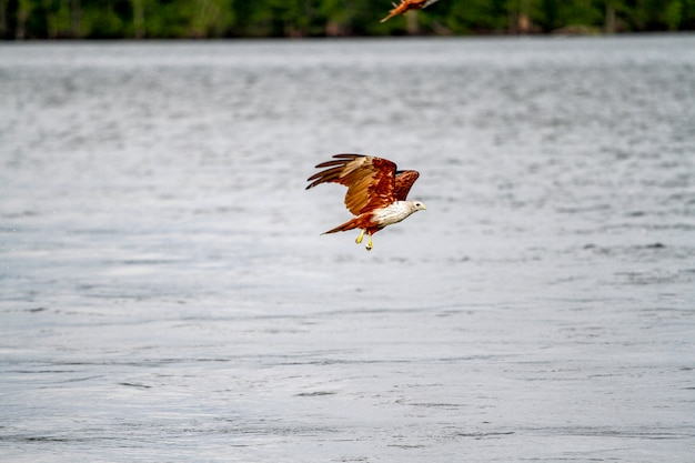 Red eagle fly on the sea in nature at thailand