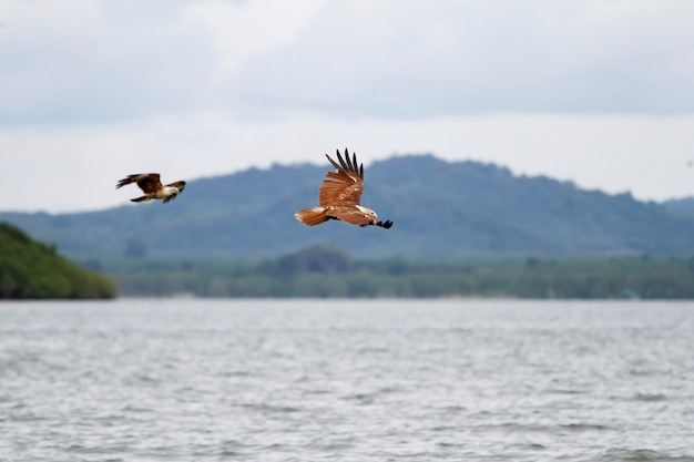 The red eagle fly on the sky in nature at thailand