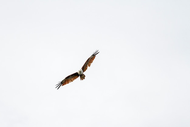 Red eagle fly on the sky in nature at thailand