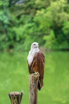 Red eagle thailand sitting on tree branch and green nature