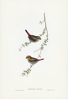 Red-eared finch (estrelda oculea) illustrated by elizabeth gould