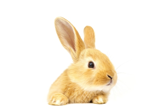 Red-eared rabbit on a white background.