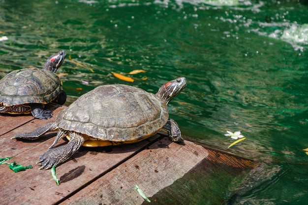 Red eared slider turtle water