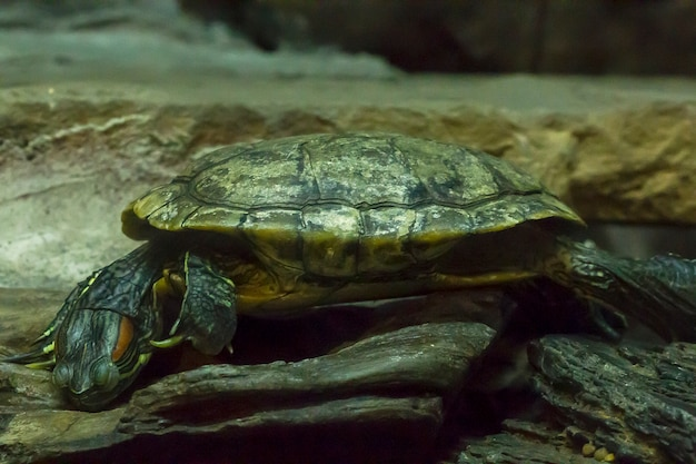 Red-eared slider  in the zoo