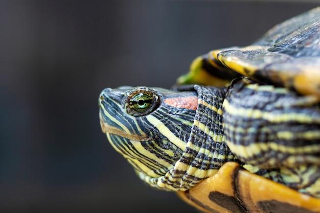 Красный ушастый террапин - trachemys scripta elegans. красная ушастая черепаха ползунка в летнем солнечном свете