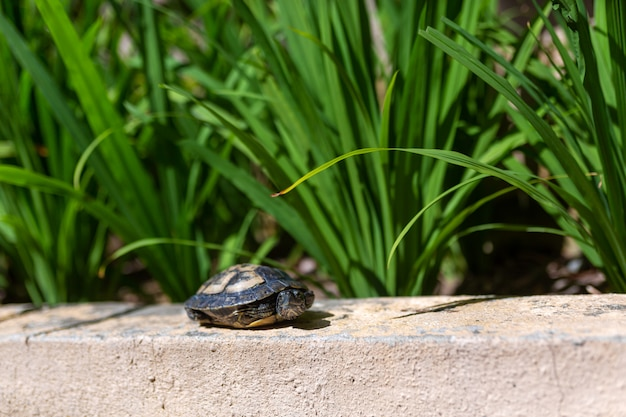Red eared terrapin - trachemys scripta elegans. red eared slider turtle in the summer sunlight