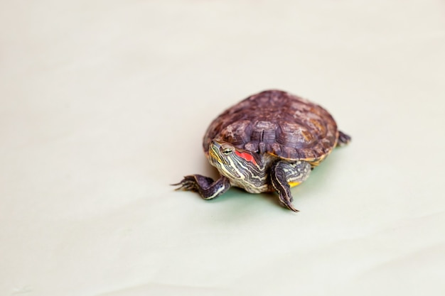 Red-eared turtle on light green background