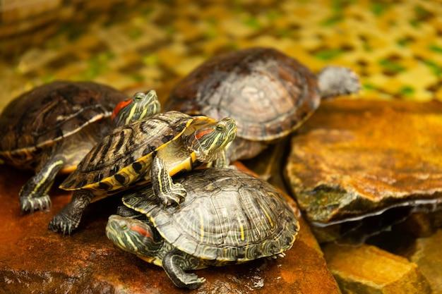 Красноухие черепахи. aka pond slider trachemys scripta elegans загорает на скале в воде. выборочный фокус.
