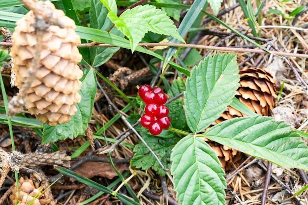 Красные съедобные ягоды в лесу на кусте, rubus saxatilis. полезные ягоды с нежным вкусом граната на ветке