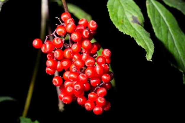 레드 엘더베리 sambucus racemosa 가지 먹을 수 없는 열매 클로즈업