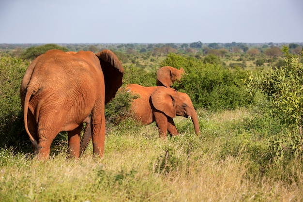 A red elephant family is walking between the bush