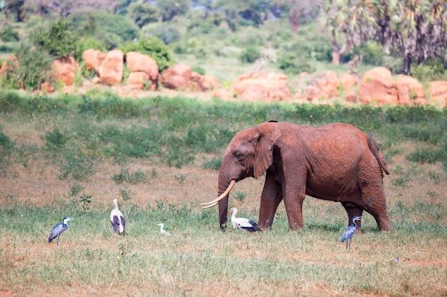 赤い象がサバンナを歩いています