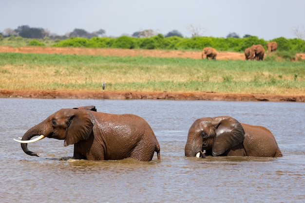 Red elephants bathe in a water hole in the middle of the savannah