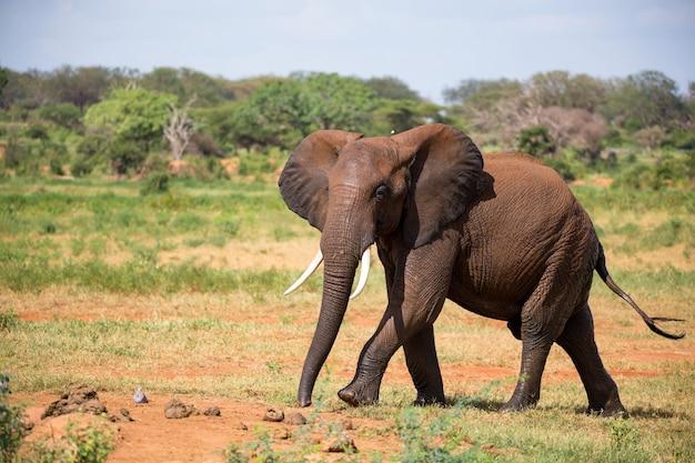 赤い象が植物の間のサバンナを歩く